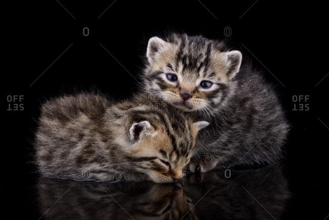 Two tabby kittens, Felis Silvestris Catus, in front of black background