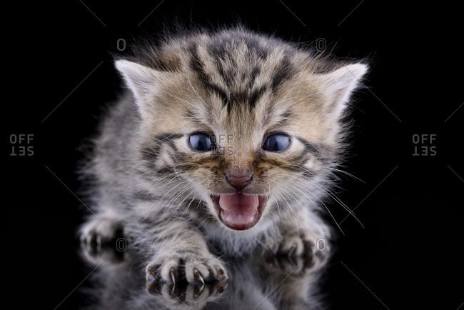 Screaming kitten, Felis Silvestris Catus, in front of black background