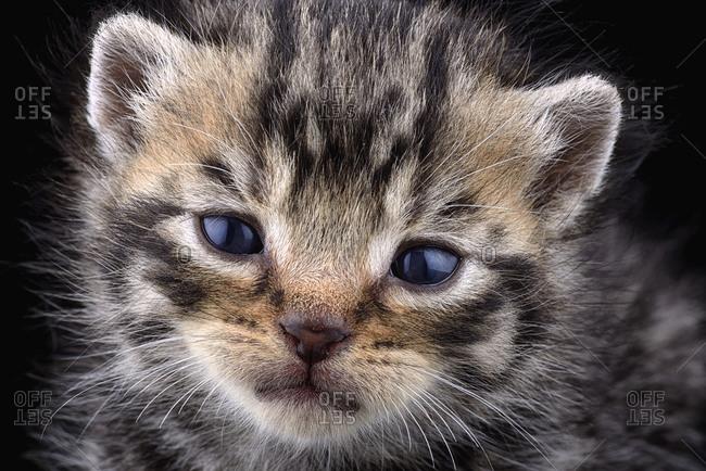 Portrait of tabby kitten, Felis Silvestris Catus, in front of black background