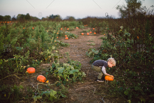 Child picking up a pumpkin in a field