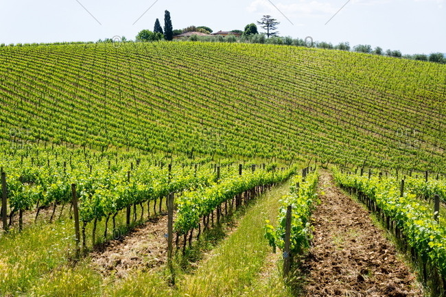 Field of vines at a vineyard