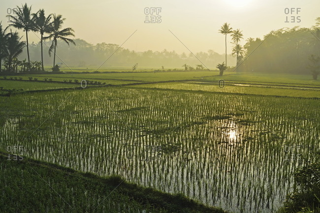Rice field near Borobudur - Offset