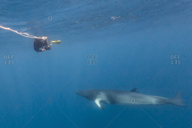 Adult dwarf minke whale with snorkeler