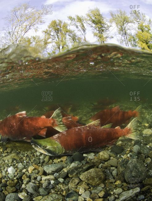 Sockeye salmon in shallow water