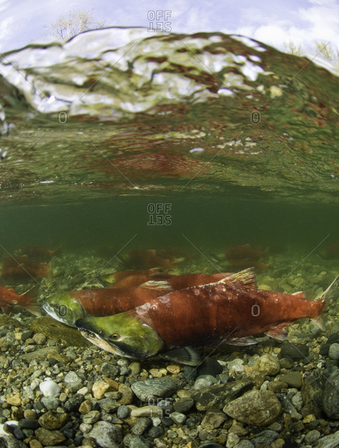 Sockeye salmon swimming in shallow water