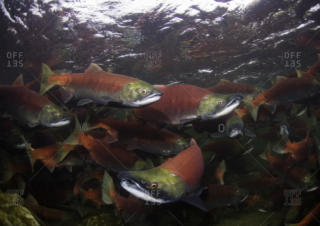 Group of spawning sockeye salmon swimming