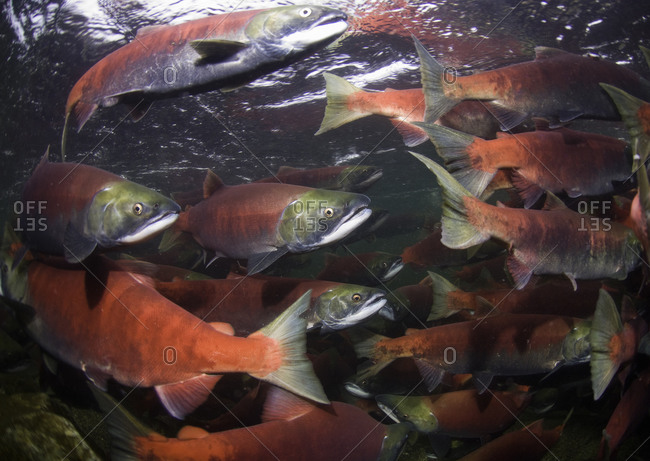 Spawning sockeye salmon swimming