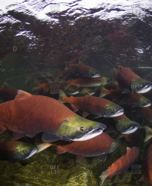 Group of spawning sockeye salmon