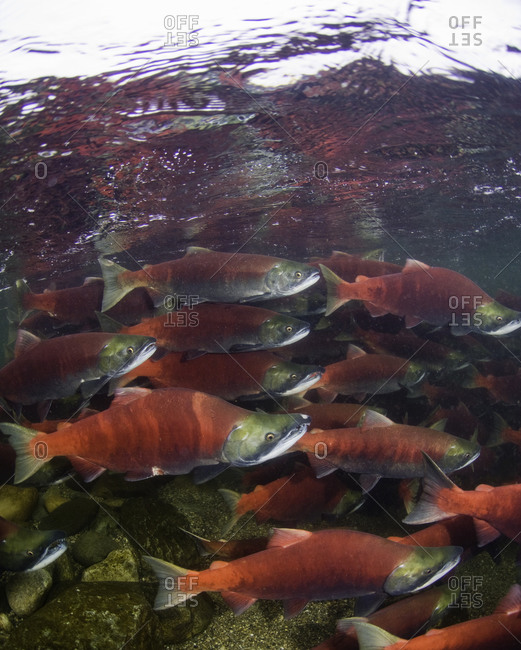 Group of spawning sockeye salmon swimming upstream