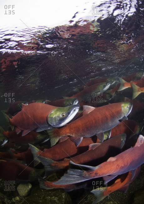 Spawning sockeye salmon swimming upstream