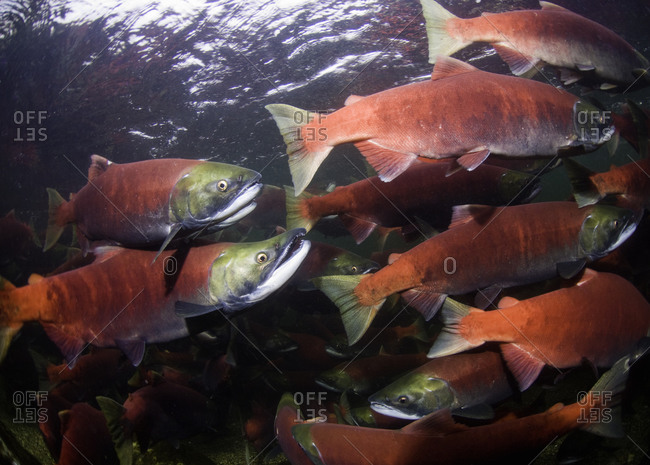 Group of spawning sockeye salmon going upstream