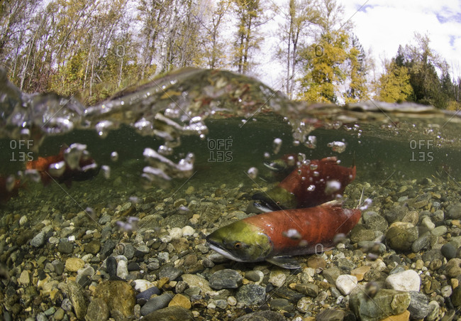 A sockeye salmon in shallow water