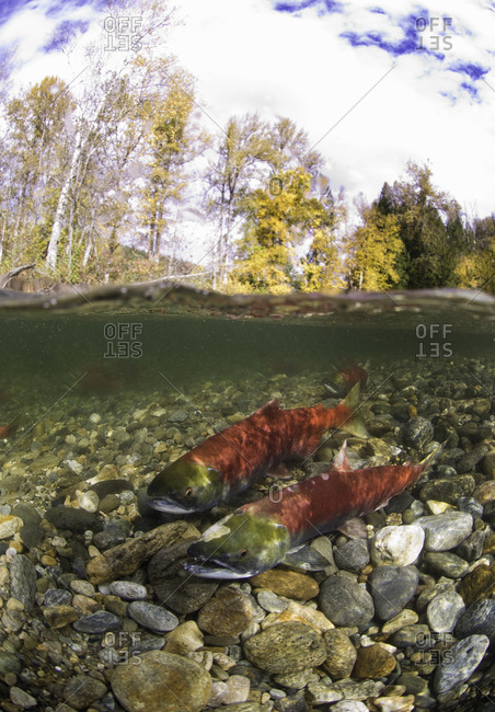 Spawning sockeye salmon in shallow water
