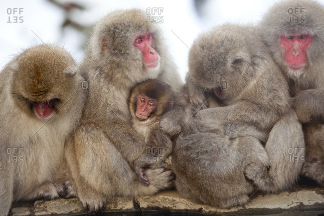 Japanese macaque family in Honshu, Japan