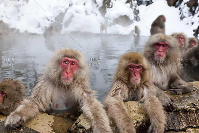 Japanese macaques bathing in the Joshin-etsu National Park, Honshu, Japan