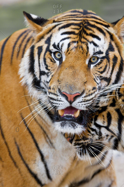 Portrait of a watchful Indochinese tiger in Thailand