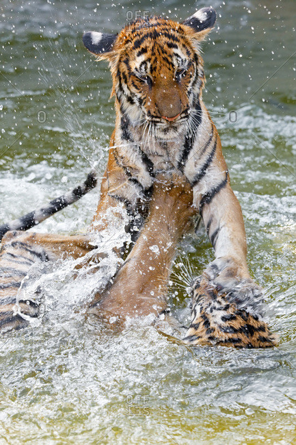 Indochinese tigers wrestling in a river in Thailand