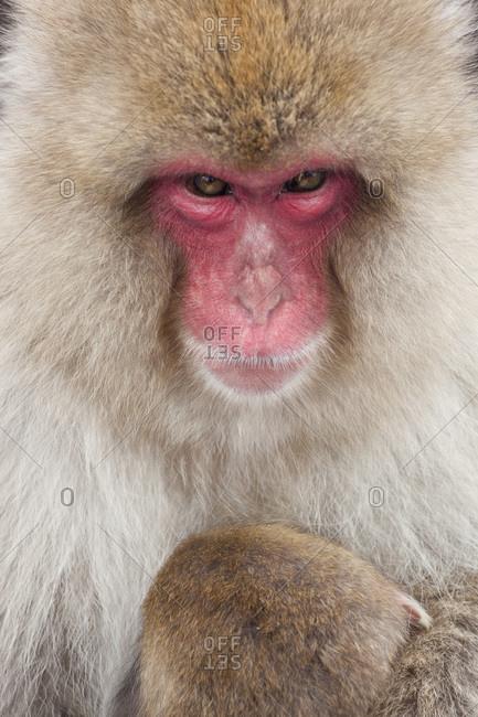Portrait of a Japanese macaque in Joshin-etsu National Park, Honshu, Japan