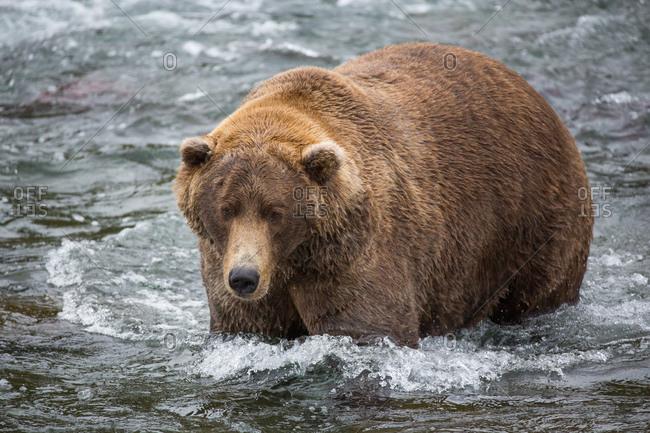 A coastal brown bear wades through a river