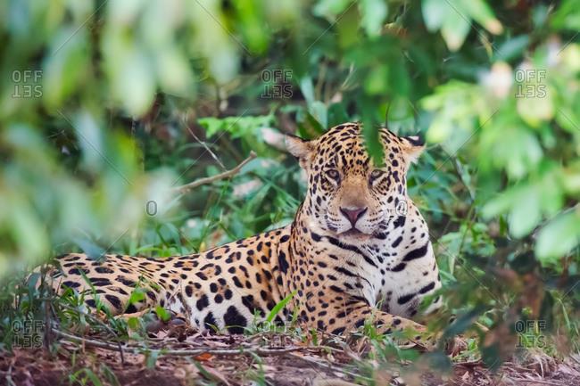 A jaguar rests on the ground