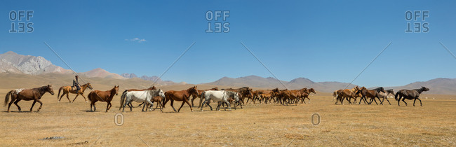 Song Kol Lake, Naryn Province, Kyrgyzstan - August 22, 2014: Kyrgyz Cowboy with a Herd of Wild Horses in the Steppes Around Song Kol Lake, Kyrgyzstan