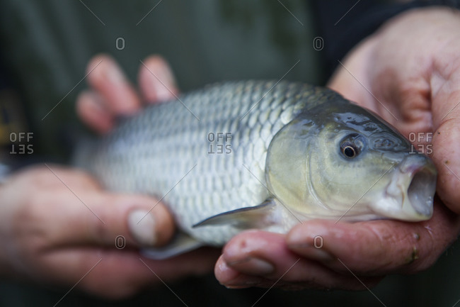 A man holding a young carp fish, his fishing catch, in his hands