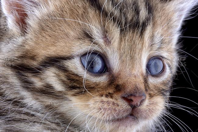 Face of tabby kitten, Felis Silvestris Catus, with blue eyes
