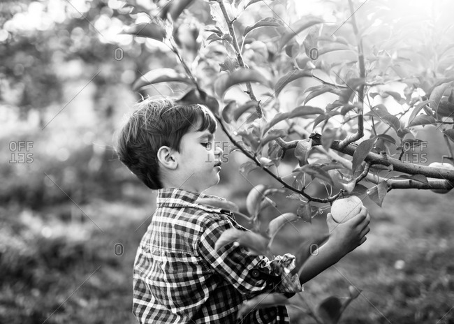 Boy picking an apple from tree