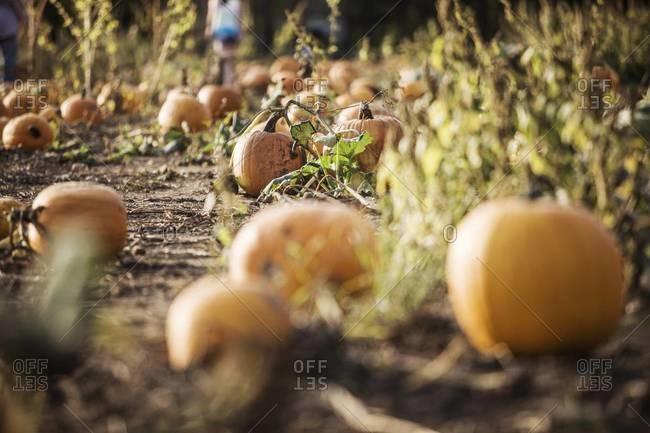 Pumpkins growing in a pumpkin patch