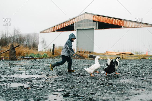 Boy chasing geese on a farm