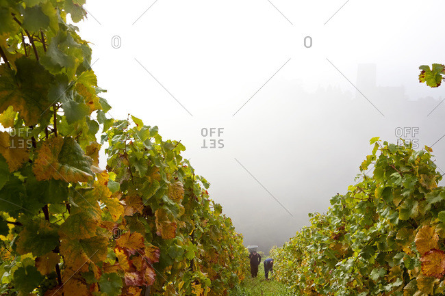 Kaub, Rhineland-Palatinate, Germany - October 12, 2010: People harvest grapes on a foggy day