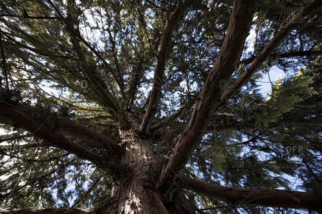 Cypress tree in Switzerland