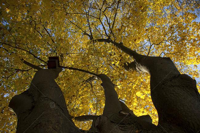Maple tree in Switzerland