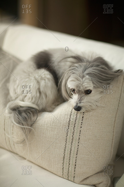 A fluffy dog rests on a couch cushion