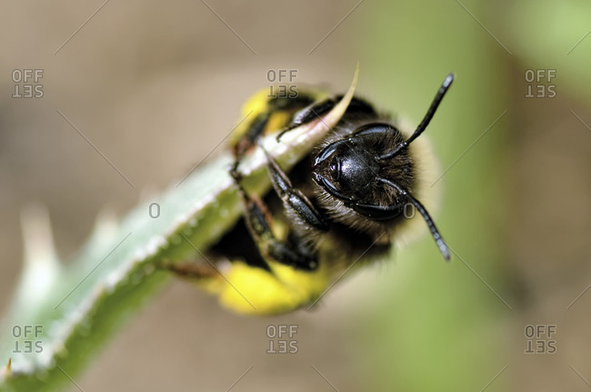 Solitary bee on a leaf