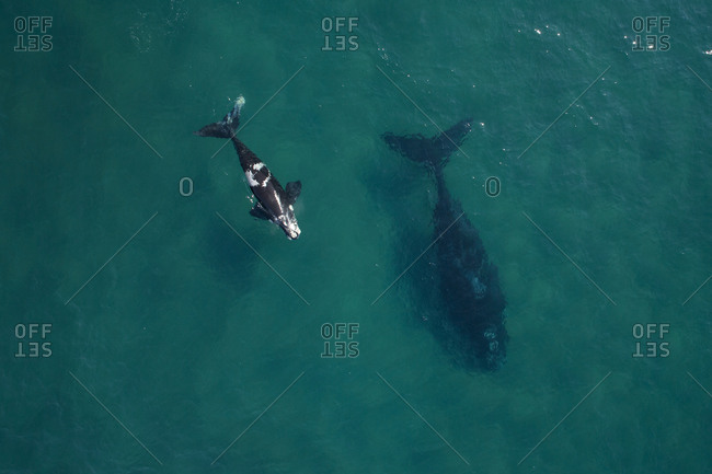 Aerial view of whales swimming