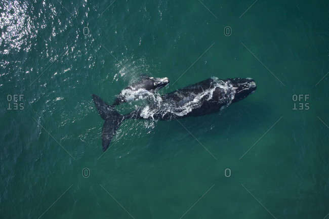 Aerial view of two whales