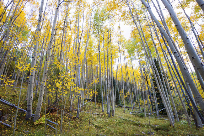 A grove of beautiful aspen trees in fall color in the Santa Fe National Forest near Santa Fe, New Mexico