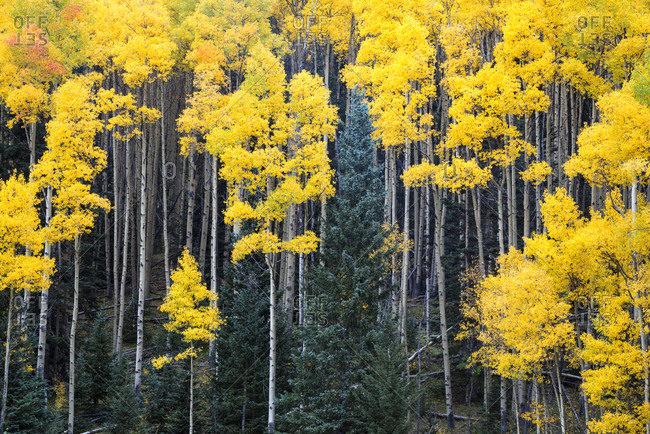 Aspen trees, bright yellow during fall, along the Santa Fe National Forest Scenic Byway, New Mexico