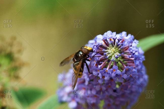 Wasp pollinating a purple flower