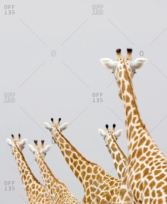 Giraffes seen from behind