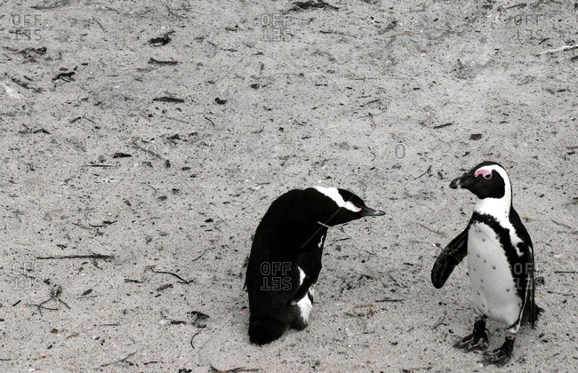 Two African penguins walking on beach