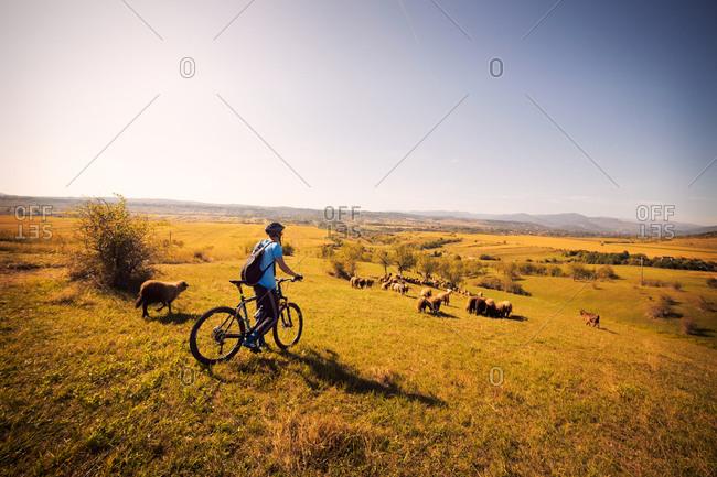 Man on bike near sheep flock