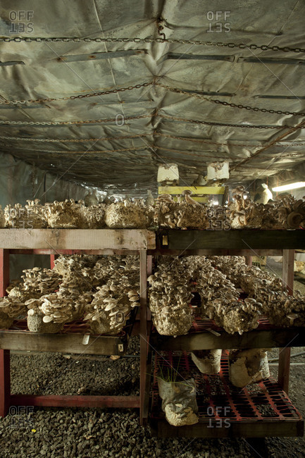 Interior of a mushroom farm with shelves of mushrooms growing on logs