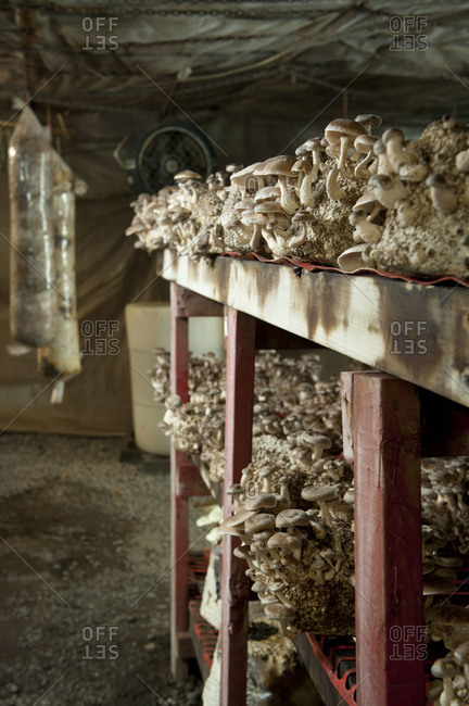 Clumps of shiitake mushrooms growing on shelves in a mushroom farm