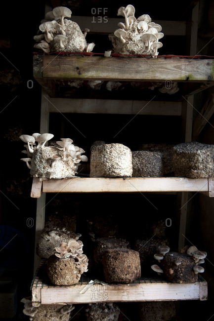 Shiitake mushrooms growing on shelves in mushroom barn