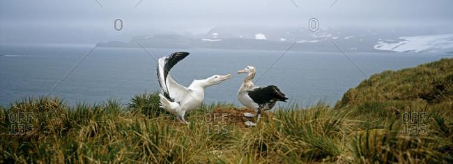 Two albatrosses in Antarctic