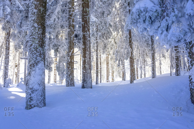 Snow-covered forest, Black Forest, Baden-Wuerttemberg, Germany