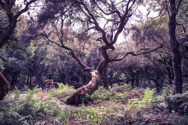 Laurel tree, Laurus nobilis, in the woods