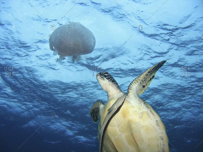 Green sea turtle and jellyfish